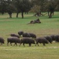 """Lo Stato Spagnolo per via del Ministero dell'Agricoltura ha fatto costruire finalmente un regolamento per la corretta identificazione e vendita del prosciutto iberico """"patanegra"""", dopo di otto mesi di negoziati […]"""