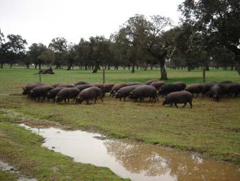Il maiale iberico, una razza unica